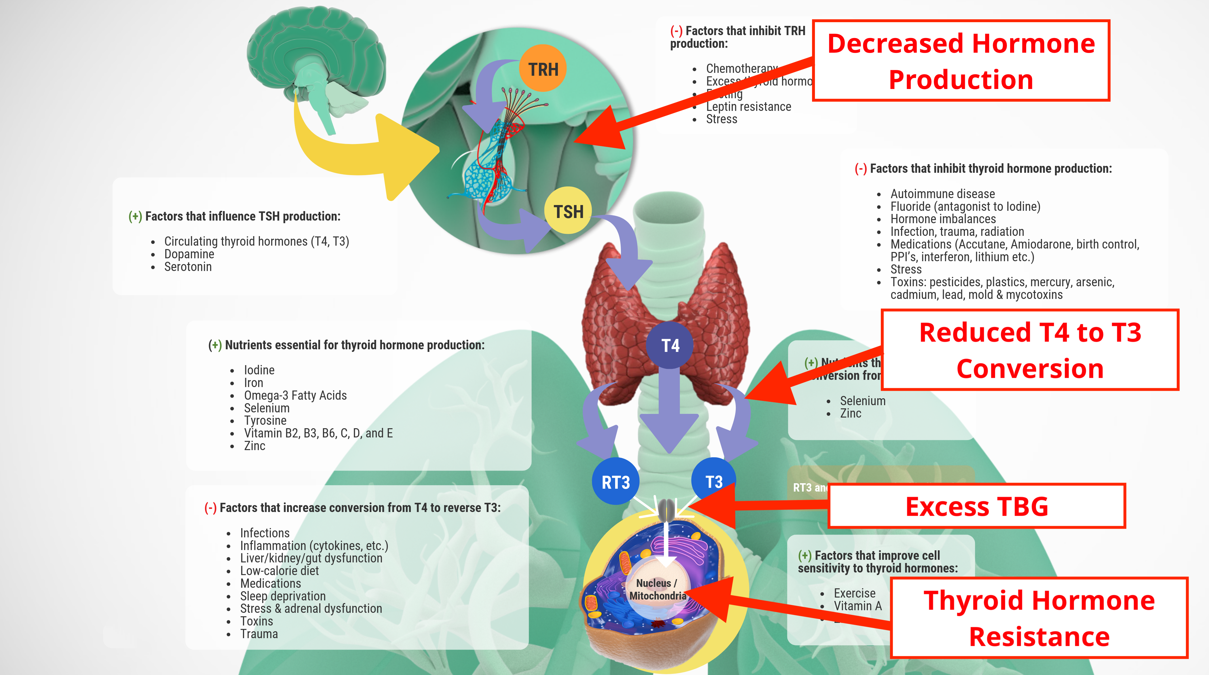 Adrenal Impact on Thyroid Function